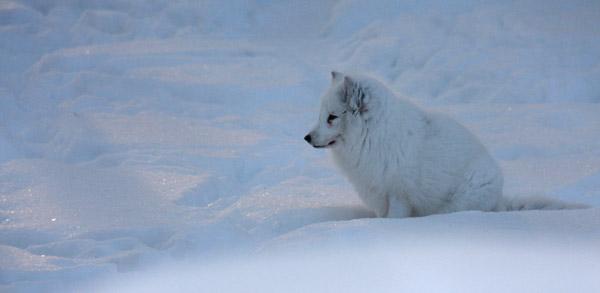 renard polaire, Laponie